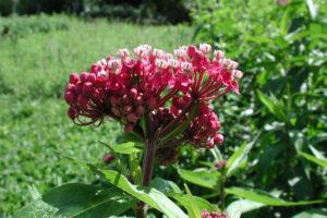 Asclepias incarnata | rode zijdeplant