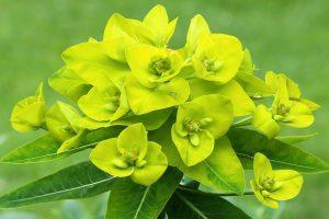 Euphorbia oblongata | Balkan wolfsmelk