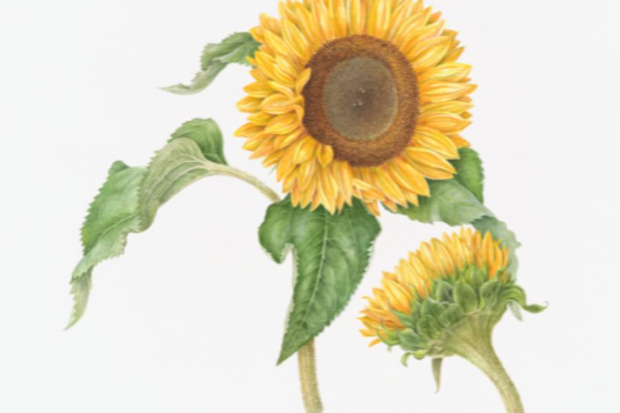 Driedaagse cursus Botanisch tekenen