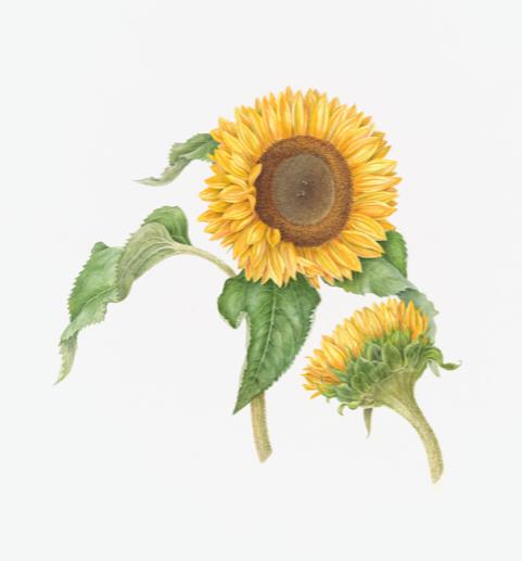 Geannuleerd - Workshop kennismaken met botanisch tekenen