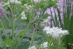 Roomse kervel | Myrrhis odorata