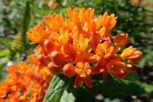 Asclepias tuberosa | Amerikaanse zijdeplant