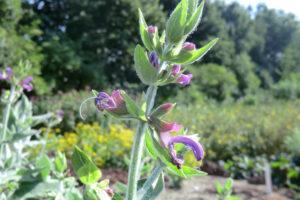 Salvia canariensis   Salvia