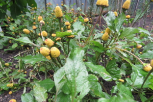 Acmella oleracea | champagneblad | zaden