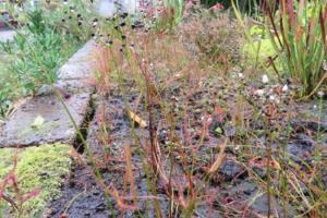 Drosera binata | gevorkte zonnedauw | zaden