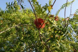 Melaleuca hypercifolia | Tea three | zaden